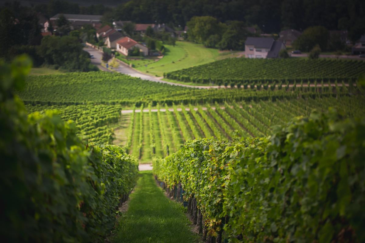 Saarland-the winefields of Smith and Weber where people can get wine of their own piece of land-CasparDiederik-9869