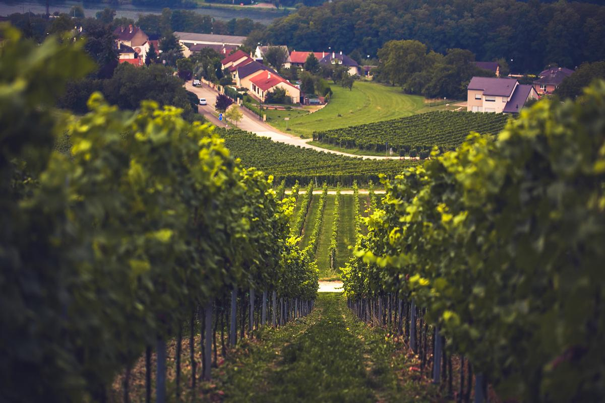 Moselsteig, Perl, Saarland-the winefields of Smith and Weber where people can get wine of their own piece of land-CasparDiederik-9888